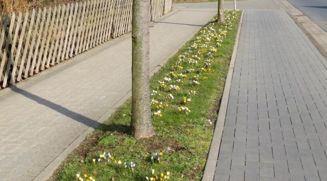 Die Krokusblüte kündigt den Frühling an!