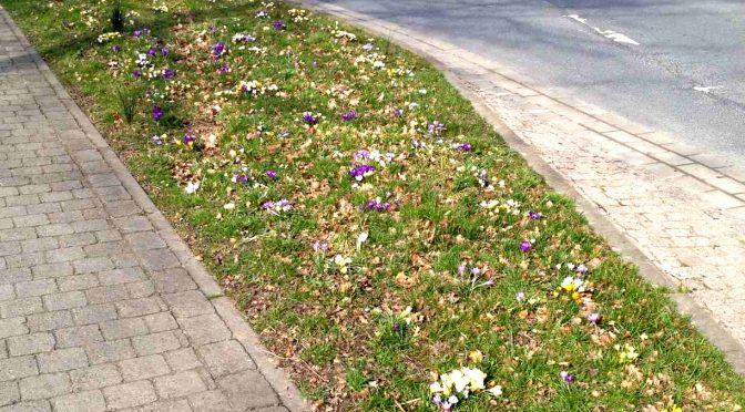 Die Krokusblüte kündigt den Frühling an